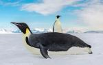Emperor Penguins, McMurdo Sound, Antarctica