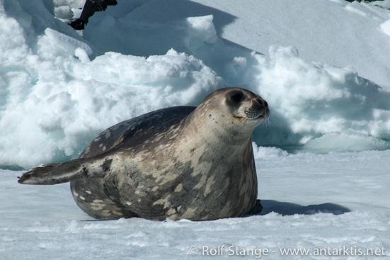 Weddell-Robbe