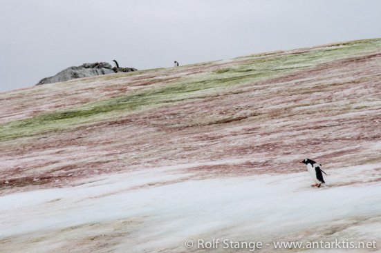 Snow algae and penguins, late March, on Petermann Island, Antarctic Peninsula