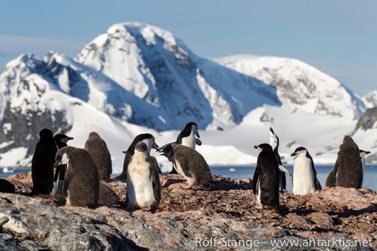 Kehlstreifpinguine, Antarktische Halbinsel