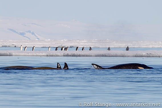 Penguins and Orcas, McMurdo Sound