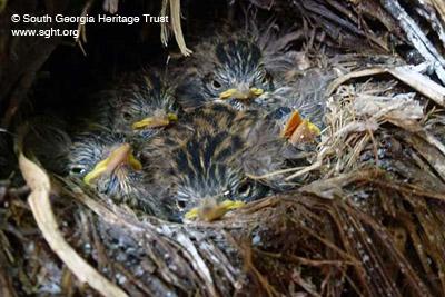 Nest des Südgeorgien-Riesenpipers