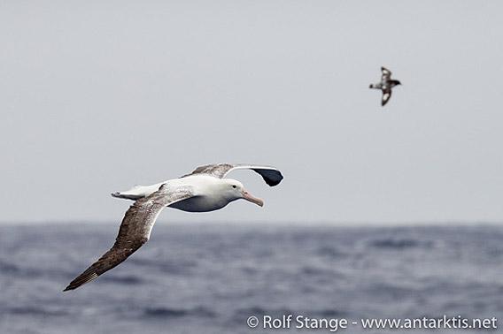 Albatros, Drake-Passage
