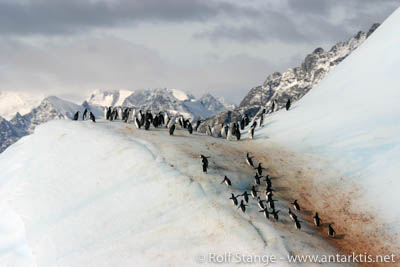 Chinstrap penguins, South Orkney Islands