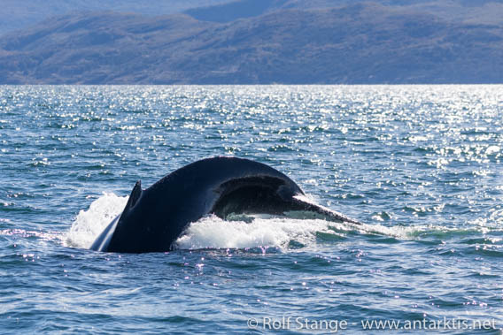 Humpback whale, Beagle-Channel