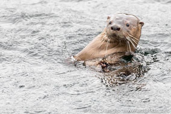 Marine otter, Peninsula Zach